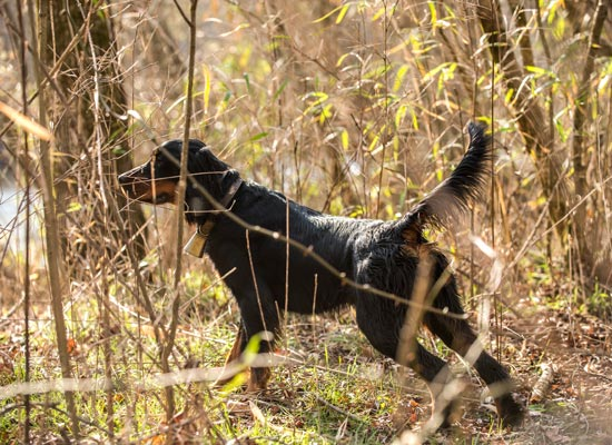 Beautiful-point-by-a-Stoneybrook-Gordon-Setter