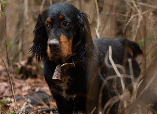 Stoneybrook-Gordon-Setter-with-his-eye-on-the-prize